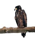 Eagle, das an der Niederlassung und an Denken lokalisiert auf Weiß sitzt Lizenzfreie Stockfotografie
