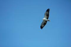 Eagle, das in die Luft spinnt stockfotos