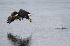 Eagle, das einen Fisch fängt. Stockfoto