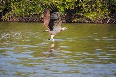 Eagle, das in Langkawi speist Lizenzfreies Stockfoto