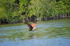 Eagle, das in Langkawi speist Lizenzfreie Stockfotografie