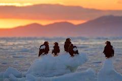Eagle, das in Meer auf Eis schwimmt Schöner Steller-` s Seeadler, Haliaeetus pelagicus, fliegender Raubvogel, mit Meerwasser, Hok Lizenzfreie Stockfotos