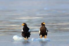 Eagle, das in Meer auf Eis schwimmt Schöner Stellers-Seeadler, Haliaeetus pelagicus, Hokkaido, Stockfotografie