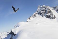 Eagle, das nahe Schnee fliegt, bedeckte Berge Stockfotos