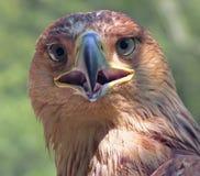 Eagle, das Sie watchcing ist Stockfoto