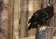 Eagle, das zurück in einem hölzernen Käfig schaut Stockbilder