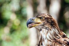 Eagle, das zur Seite schaut Lizenzfreies Stockfoto
