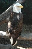 Eagle dat zijn omgeving waarneemt stock afbeelding