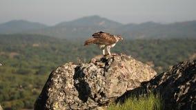 Eagle de Bonelli com a montanha de San Pedro no fundo Espanha de Extremadura filme
