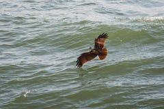 Eagle-de jacht op de oceaan Stock Foto