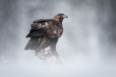 Eagle de oro imágenes de archivo libres de regalías