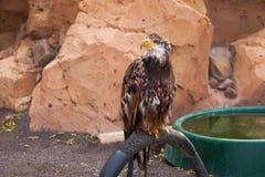 Eagle de oro Imagenes de archivo