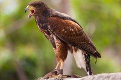 Eagle de oro Imagen de archivo libre de regalías