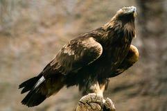 Eagle de oro Fotos de archivo