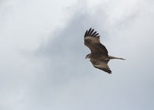 Eagle-1 de oro. Foto de archivo libre de regalías