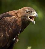 Eagle de oro (chrysaetos) de Aquila - Escocia Fotografía de archivo libre de regalías