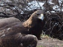 Eagle de oro en Colorado Imagen de archivo