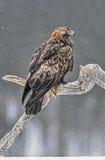 Eagle de oro en nieve Imagen de archivo libre de regalías