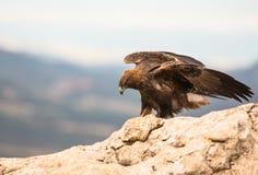Eagle de oro en una roca Fotos de archivo libres de regalías