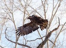 Eagle de oro en vuelo Fotos de archivo