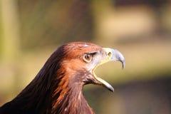 Eagle de oro llamada Imagen de archivo libre de regalías