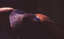 Eagle de oro norteamericano Foto de archivo libre de regalías