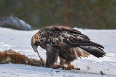 Eagle de oro que alimenta en la res muerta del Fox Foto de archivo libre de regalías