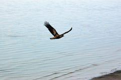 Eagle de oro que vuela sobre el mar Imagenes de archivo
