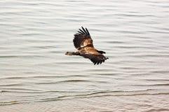 Eagle de oro que vuela sobre el mar Fotografía de archivo