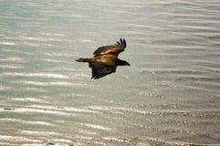 Eagle de oro que vuela sobre el mar Fotos de archivo libres de regalías