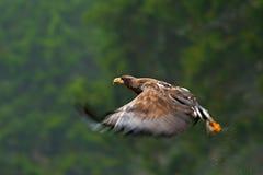 Eagle de oro, volando antes de bosque del otoño, ave rapaz marrón con la envergadura grande, Noruega Escena de la fauna de la acc Fotos de archivo libres de regalías