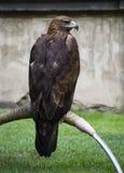 Eagle de reclinación Fotos de archivo