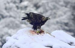 Eagle in de sneeuw Royalty-vrije Stock Afbeelding
