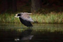 Eagle in der Fliege über dem dunklen See Seeadler, Haliaeetus albicilla, Flug über dem Wasserfluß, Raubvogel mit Wald Stockbild
