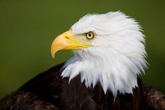 Eagle detail stock photography