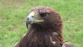 Eagle - detail stock videobeelden