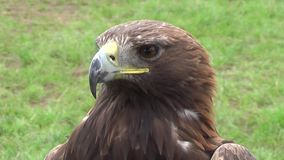 Eagle - detail. The video shows the eagle, which is located in Nitra castle. Golden Eagle (lat. Aquila chrysaetos) is a predator of the hawk family. It is among stock video footage