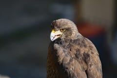 Eagle detalj av örnhuvudet Royaltyfria Bilder
