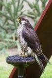 Eagle di riposo Fotografia Stock Libera da Diritti