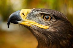 Eagle die de hemel bekijken Stock Foto