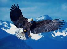 Eagle die een prooi richten Stock Foto's