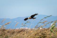 Eagle die en in het natuurreservaat van Albufera, Valencia, Spanje vliegen jagen Natuurlijke achtergrond stock foto