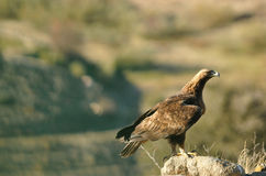 Eagle, die Landschaft von den Felsen in den Bergen beobachtend Stockbild