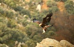 Eagle die op de rotsen van de berg landen Stock Afbeelding
