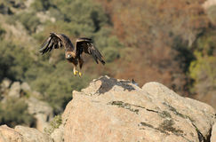 Eagle die op zijn grondgebied letten Stock Foto
