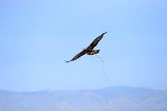 Eagle die over de steppe tijdens de jacht stijgen Stock Foto