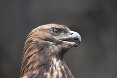 Eagle die prooi zoeken stock foto