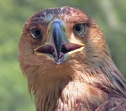 Eagle die u watchcing stock foto