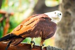 Eagle die zich op tak van boom bevinden stock fotografie