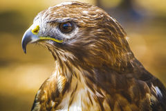 Eagle, diurnal bird of prey with beautiful plumage and yellow be Stock Photography